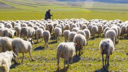 Göyçayda işlədiyi fermadan heyvan oğurlayan çoban saxlanılıb