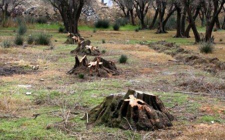 Lənkəranda ağaclar kəsilib - Nazirlik araşdırmaya başladı